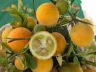Sibirski limun, Poncirus trifoliata 3 mlade sadnicoe