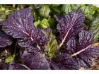 Slačica `Osaka Purple`, 0,1g (oko 100 semenki)
