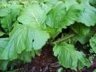 Slačica smeđa (Brassica juncea), 1g (oko 650 semenki)
