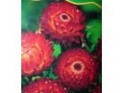 Slamno cveće ( crvena) 400 semenki