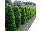 Smaragd,kolumna,juniperus(tuja),ligustrum(ž.ograda)