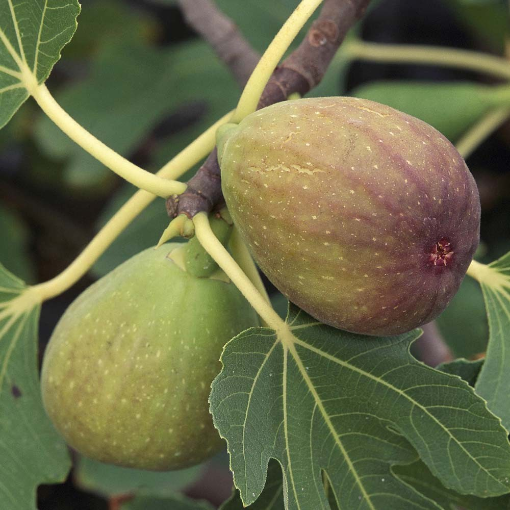 Smokva (15 semenki) - Kupindo.com (17383113)