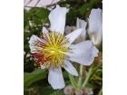 Sparmannia africana / 5 semenki