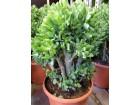 Sukulent - Crassula arborescens subs. undulatifolia