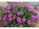 Sukulent - Delosperma cooperi  (Ledeni cvet)