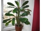 Sukulent - Euphorbia leuconeura (Madagaskarski dragulj)