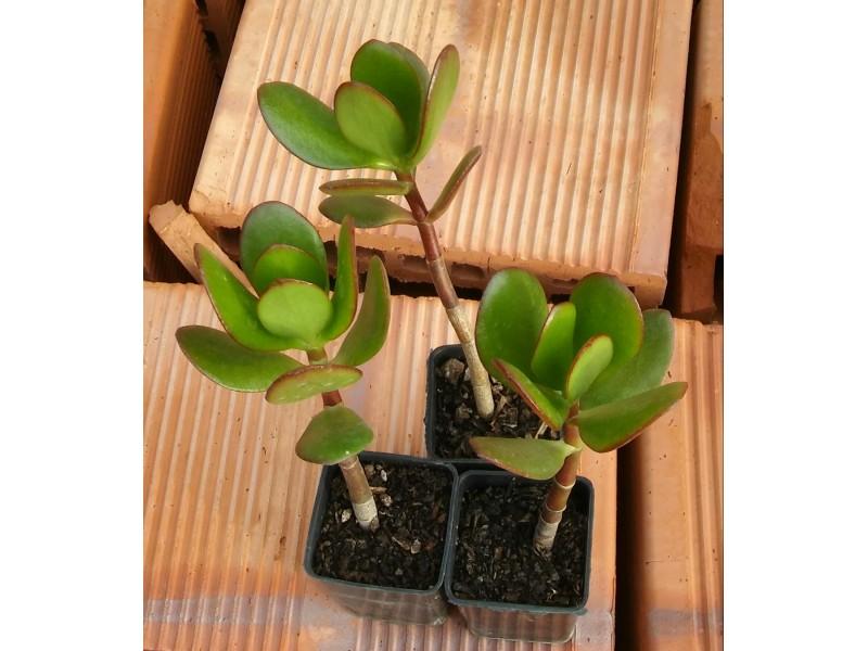 Sukulent - Feng shui, Crassula ovata ili  Drvo novca