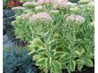 Sukulent -  Hylotelephium spectabile variegatum