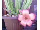 Sukulent - Stapelia grandiflora