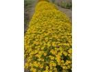 Tagetes tenuifolia-kadifa niska žuta (100 semenki)
