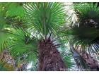Trachycarpus fortunei Winsan - zimska palma 15 semena