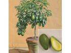 Tropsko voće -  Avokado (Persea americana)
