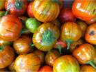 Turski patlidzan narandzasti (10 semena)