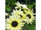 Ukrasni suncokret (Vanilla Ice) 20 semenki