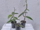 VANILA - Vanilla Plaifolia