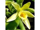 Vanilla planifolia - VANILA