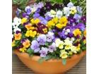 Viola cornuta ` Bambini ` Mix / 100 semenki