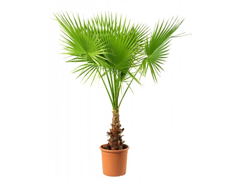 Washingtonia filifera / Kalifornijska palma / 5 semenki