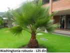 Washingtonia robusta / Meksicka palma / 5 semenki