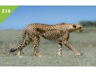 ŽIVOTINJSKO CARSTVO 2016 br.216 Gepard
