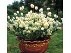 Zečji rep žuti (50 semenki)