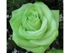 Zelena ruža (20 semenki)