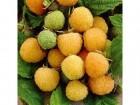 Žuta malina (30 semenki)