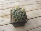 kaktus mammillaria picta