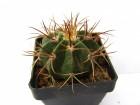 kaktus melocactus