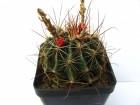 kaktus thelocactus setispinus