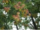 oskoruša(Sorbus domestica), sadnice